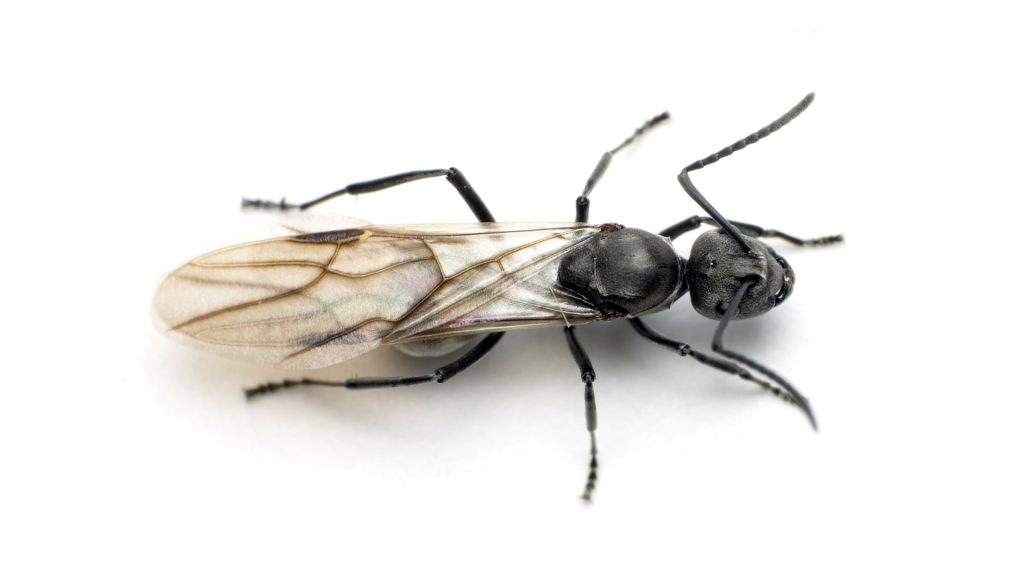 Termites Or Ants Green Giant Services
