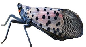 Adult Lanternfly