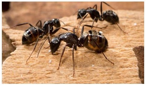 What Are The Signs Of Carpenter Ants In Your House Green Giant Services