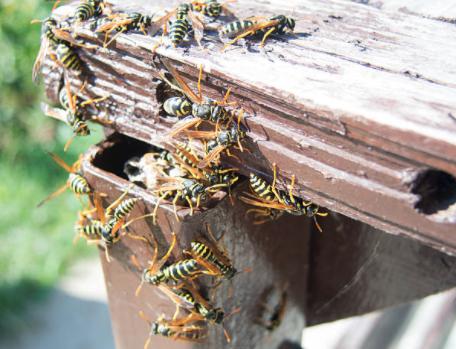 yellow jacket nest in gutter